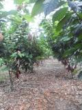 Cacao field Bolivar