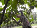 Pruning cacao tree
