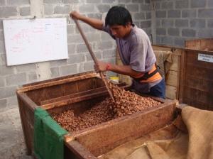 Fresh cocoa beans fermenting
