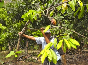 Cocoa farmer in the region of Piura