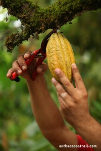 Selection of the cocoa pod
