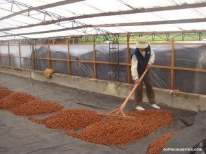 Drying the cocoa bean