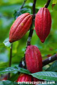 Dominican cocoa