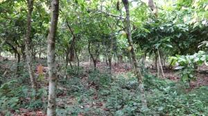 Cocoa farm Western region