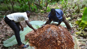 Fermentation cocoa heap