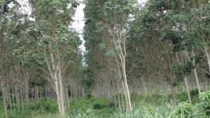 Rubber plantations, Western region, Ghana