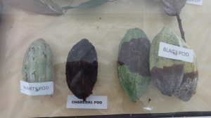 Infected cocoa pods
